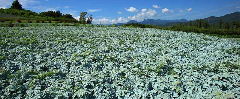 Pestovanie konjacu v Japonsku